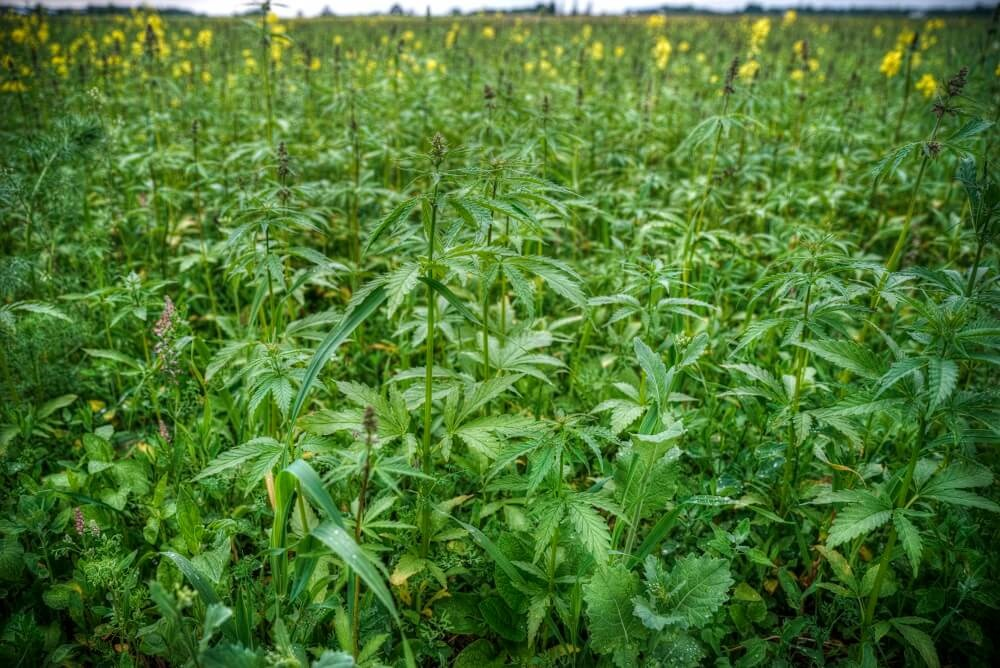 The Benefits of the New Mega-Crop